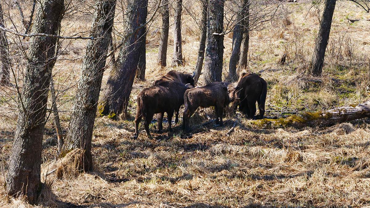 Photo safari cu zimbri in Tinutul Zimbrului